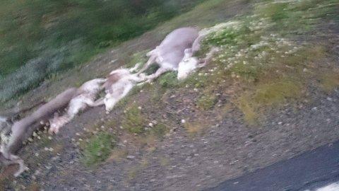 Flere av dyrene var i live etter kollisjonen, men måtte avlives på stedet, ifølge politiet.