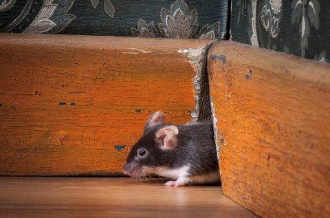 Kommer mus seg inn i sommerhytter som står tomme hele vinteren, kan de rekke å gjøre mye skade.