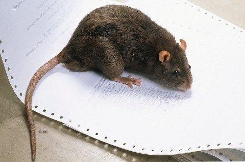 Rotter og mus kan gjøre store skader dersom de kommer seg inn i boligen din.
