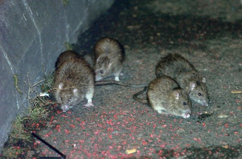 Høsten er høysesong for rotter, og flere steder bør man være ekstra oppmerksomme fordi flom kan gi ekstra rotteplager.