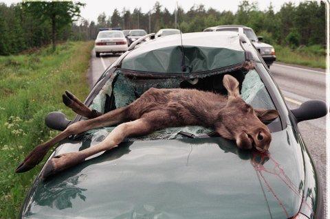Bil og elg er en farlig kombinasjon. Så langt i år har det vært over 1.000 elgpåkjørsler.