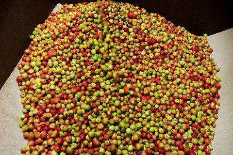 Årets epleavlinger er betydelig mindre enn vanlig.
