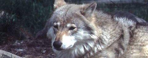 I løpet av tre måneder har den enslige ulvetispa kostet like mye for statskassa som ni bønder i et helt år.