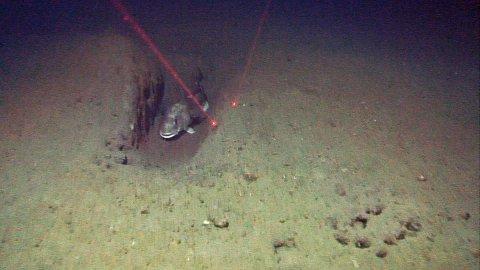SKJULESTED: En torsk  har valgt seg ut et trålspor som skjule- eller hvilested.