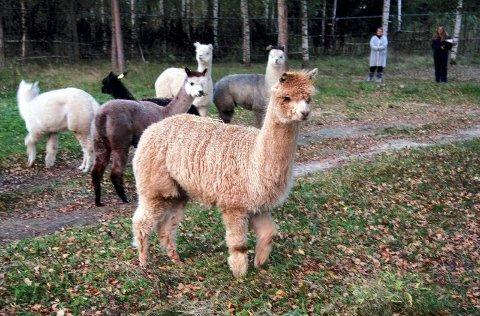 MANGFOLD: Flokken har stort genetisk mangfold. Dyrene ble håndplukket av Nina Bergerud i fjor.