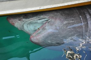 ENORM: Brugda lever av plankton.