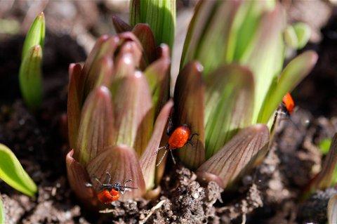 Vær på vakt mot liljebiller med det samme liljene stikker opp av jorda.