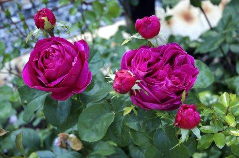 Planter du rosene riktig, vil de trives bedre og du får større glede av dem.