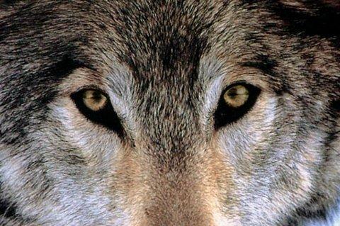Den 30-årige kvinnen var alene i innhegningen da hun ble angrepet av flere ulver samtidig søndag formiddag.