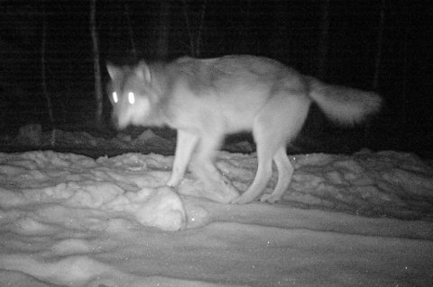 Her er ulven i skogsområdene mellom Bjørkelangen og Setskog.