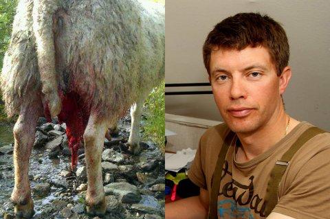 Sauebonde Hans Helge Høyland fant torsdag sauen sin stående i bekken med avrevet jur. Nå har de fått fellingstillatelse på bjørn i Salangsdalen.