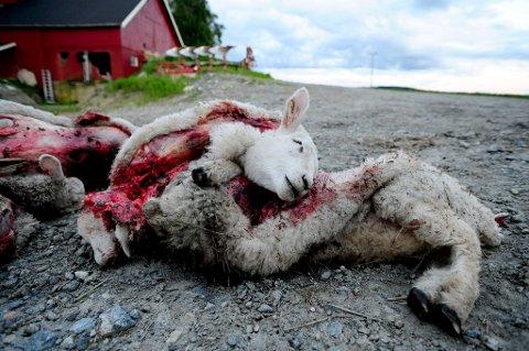 SJANSELØSE: Både lammene og sauene var sjanseløse mot ulven. FOTO: VIDAR SANDNES