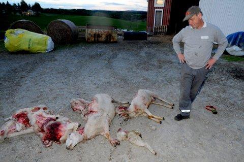 MISTET SEKS: Ragnar Hennum fant seks av sauene sine drept av ulv lørdag. Han frykter at ulven har tatt ytterligere tre av dyrene hans. FOTO: VIDAR SANDNES