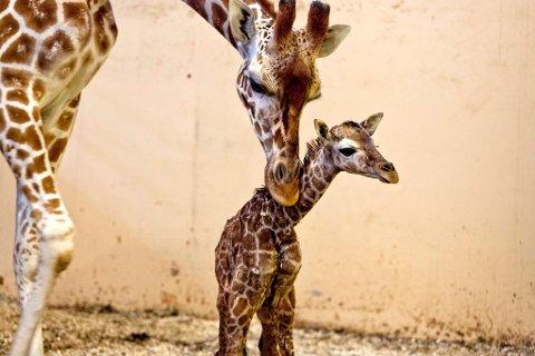 Den lille sjiraffkalven ble født i begynnelsen av januar, men var allerede da 175 centimeter lang.