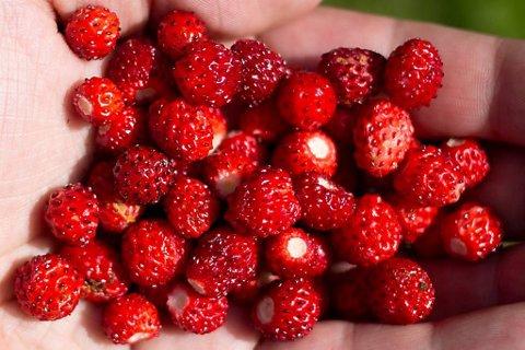 Desse markjordbæra er truleg fri for sprøytemiddel. Men storesystera jordbær er ein av verstingane i sprøytemiddeltesten til Grønn Hverdag.