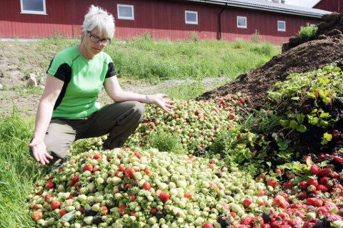 Kompost: Store deler av jordbæravlingen til Eva Molberg kastes rett på komposthaugen. Foto: Magnus Mo Opsahl