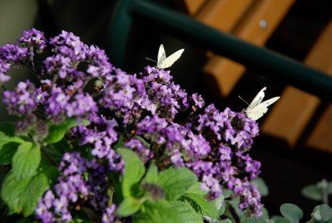 Heliotrop dufter herlig og lokker til seg sommerfugler og andre insekter.