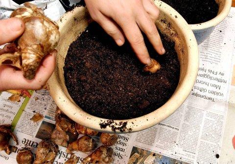 Det trengs bare noen centimeter med jord over løkene, for de kan plantes dypere enn de står i potten når de settes på friland.