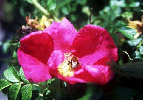 Nyperose finnes i mange norske hager, og selve nypebæra er utmerket til matbruk og frøene fjærnes.