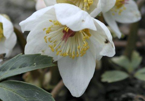 Hvit julerose er blitt en populær potteplante også. Steller du den riktig, kan du plante den ut når våren kommer.