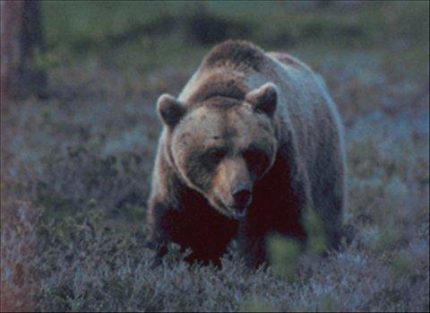 FORSVANT:  Bjørnen som tok ei tekse i Oppdal, dro fort videre.   Arkivfoto: Arne Nævra/ANB