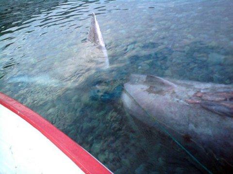 DYPT: Arild Olsens garn hadde sunket til 20 meters dyp, etter at brugda hadde viklet seg fast.