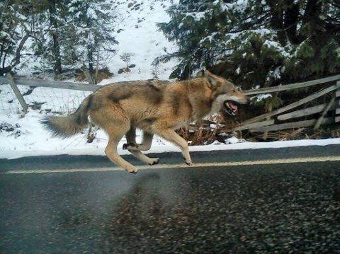 HØY FART: Ronny Engen fikk tatt et mobilbilde av ulven idet han kjørte forbi den i bil.