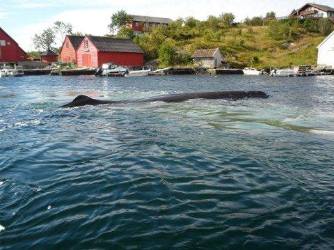Denne spermhvalen er den store snakkisen i Øygarden nå. -Det er sikkert minst 20 år det var en så stor hval her inne, sier fotografen.