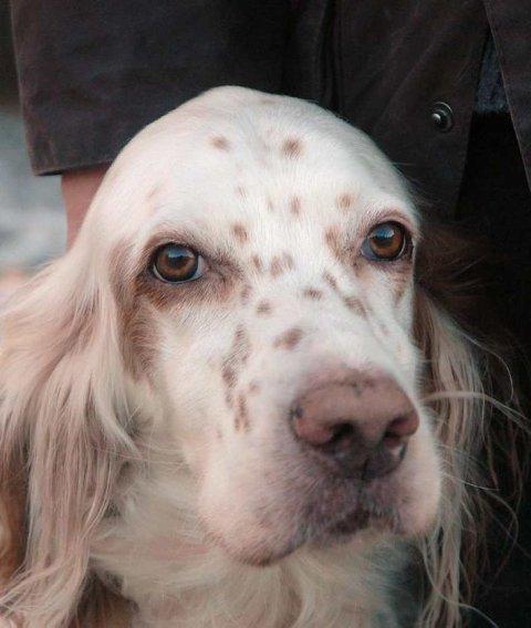 Nei takk til raketter : Engelsksetteren Zita (8) er livredd raketter, og setter mye mer pris på å få lov til å tilbringe nyttårsaften på hundepensjonatet på Mørk.