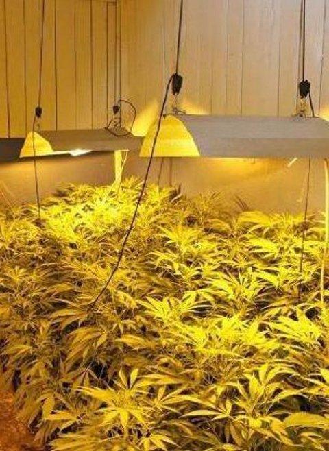 Politiet mener plantasjen er proff.