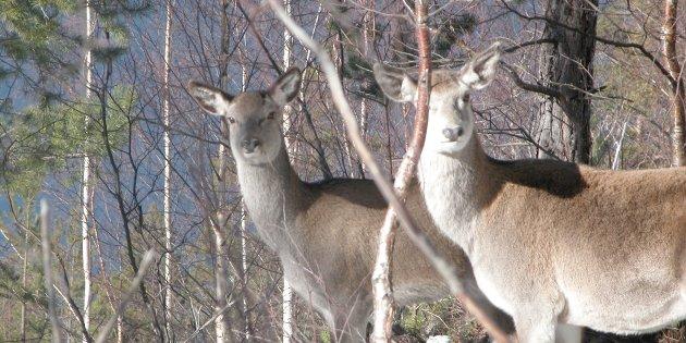 JAKT TIL JUL: 16 kommunar har fått innvilga ønskjet om utvida hjortejakt i haust.