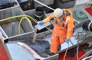 OMBORD: Harald Nordhaug skjærer bort finnene på brugda som veide rundt 10 tonn og var 10 meter lang.