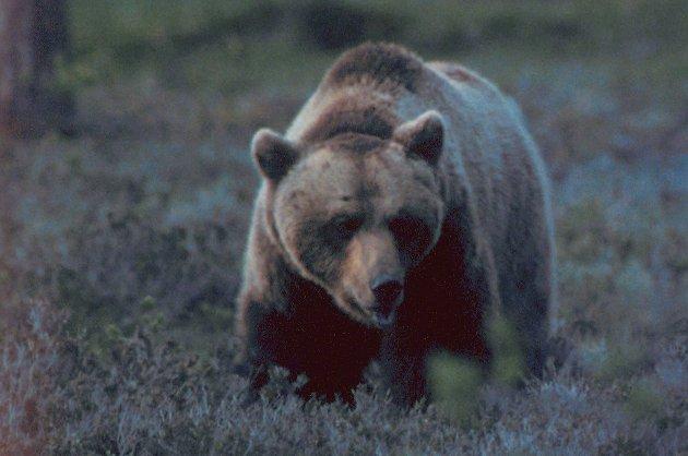 Politiet ber publikum være på vakt for en skadeskutt bjørn. (Illustrasjonsfoto)