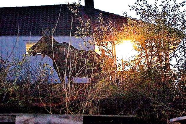 Elgen tuslet fredelig omkring rundt husene.