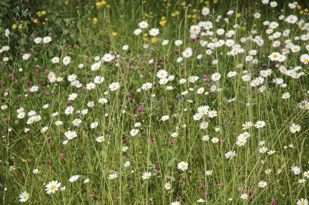 Blomsterenger er vakre, men ikke så lette å få til.