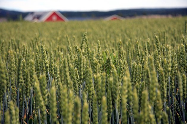 Kornproduksjon er rundt to uker forsinket flere steder i landet på grunn av den våte sommeren.