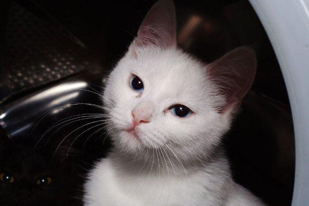 KANDIDAT 148: Dette er Loke, katten vår.  Han er en veldig leken katt, 12 uker gammel og nermer seg vaksine stadiet. Med en enorm mengde energi raser han runt i leiligheten og har en rar tendens til og såve i vaskemaskina (når den er av og tom).  Han er døv, eller veldig tunghørt, men det virker ikkje som det stopper han i det heletatt. Med store ønsker for kos kommer han med ett høyfrekvent mjau når eg kommer heim ifra jobb.