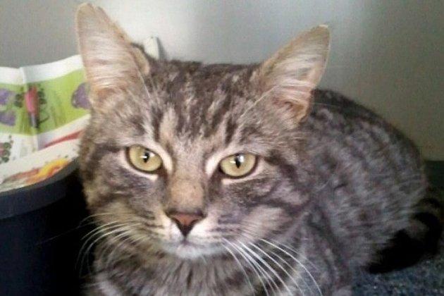 Dyrebeskyttelsen vil gjerne vite om noen kjenner katten fra Hegra.