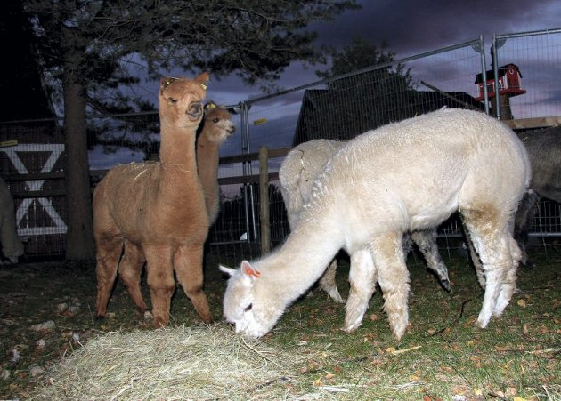 MAT: Alpakkaene hadde ikke vært mange minuttene ved sitt nyte hjemsted, før de roet seg med kveldsmaten.
