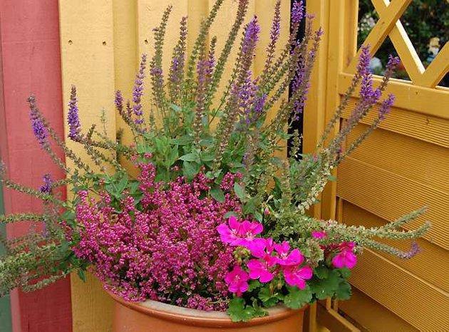 Fungerer: Anne Norløff planter gjerne lyng sammen med lilla salvie og rosa pelargonia. Denne krukken står ved garasjen.