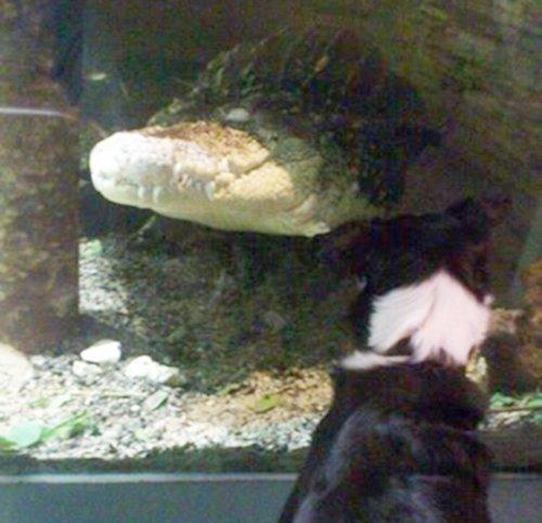 Her ser du et møte mellom hunden Vilde og krokodillen Samson. -De hadde en stirrekonkurranse, forteller hundeeieren.