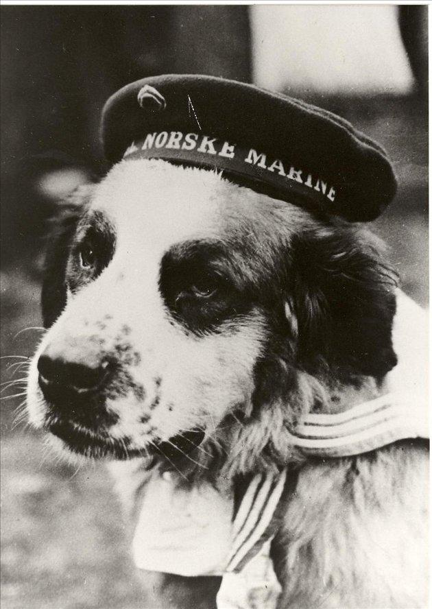 Sankt Bernhardshunden Bamse fra Honningsvåg regnes som en stor krigshelt. Foto: Utlånt fra Marinemuseet