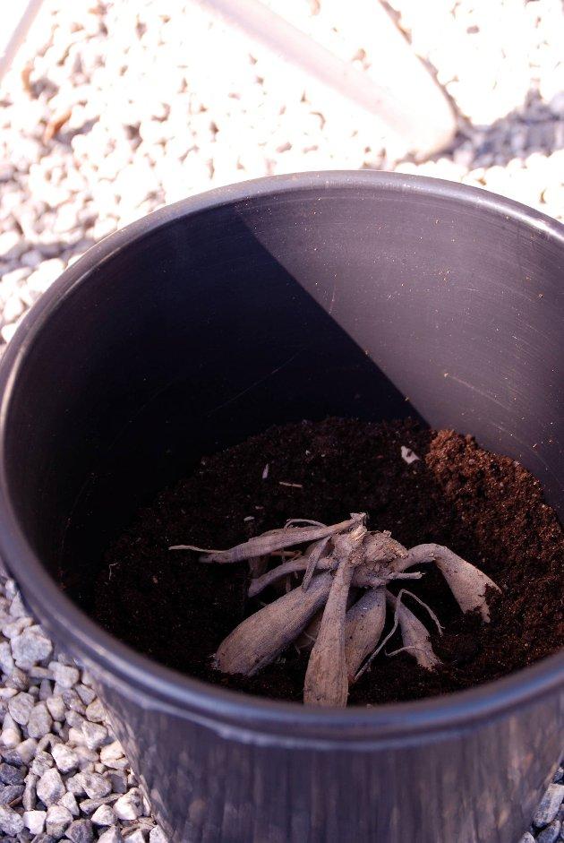 Gi knollene god plass i plantekaret.
