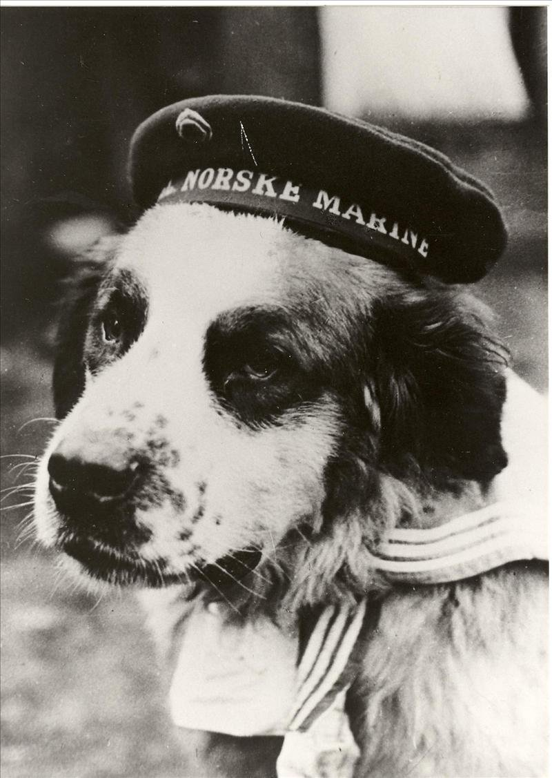 Bildet av Bamse med matroslue ble et fredssymbol for de norske styrkene under andre verdenskrig. I dag avduker engelske Prins Andrew en bronsestatue av den berømte skipshunden fra Honningsvåg. Foto utlånt fra Marinemuseet