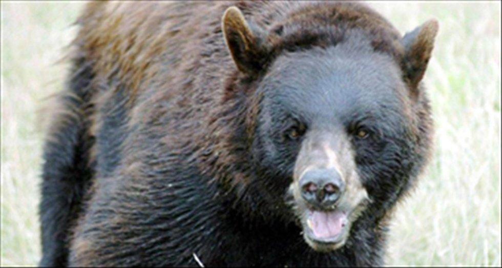 BJØRN PÅ FERDE: I ettermiddag ble det gitt fellingstillatelse på bjørnen som tok ei tekse ved gården Gjerdesletta. Illustrasjonsfoto