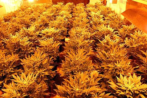 ENDA EN: Flere av cannabisplantene var klare for høsting. FOTO: KNUT A. NADHEIM
