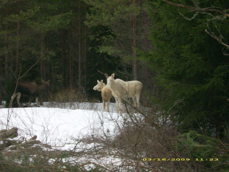 se på OSS: To nysgjerrige hvite elger ? ei ku og og kalv, sto langs veien da Gerd Johnsrud var på tur i Eda nå mandag. FOTO: GERD JOHNSRUD
