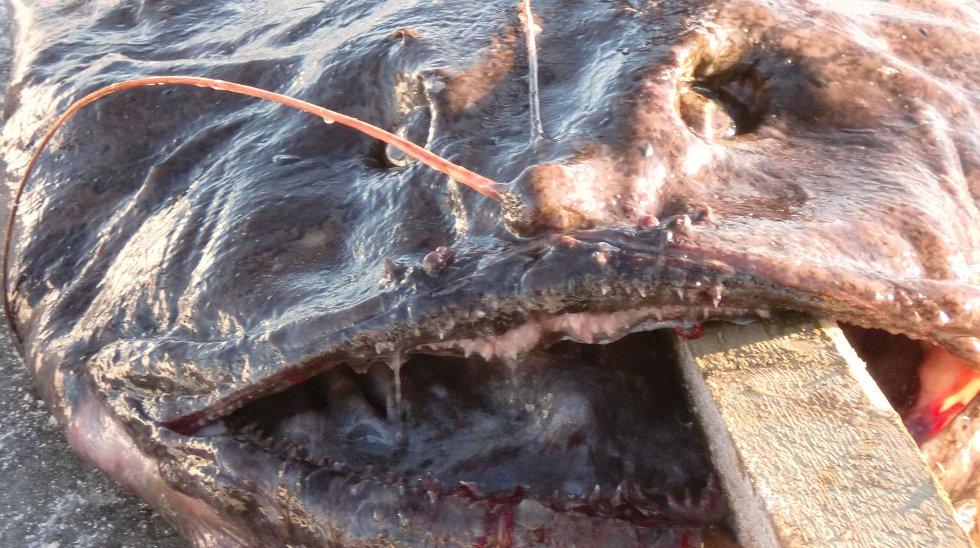 Med en tre ganger tre tommers planke i kjeften poserer fisken på kaien på Leknes.