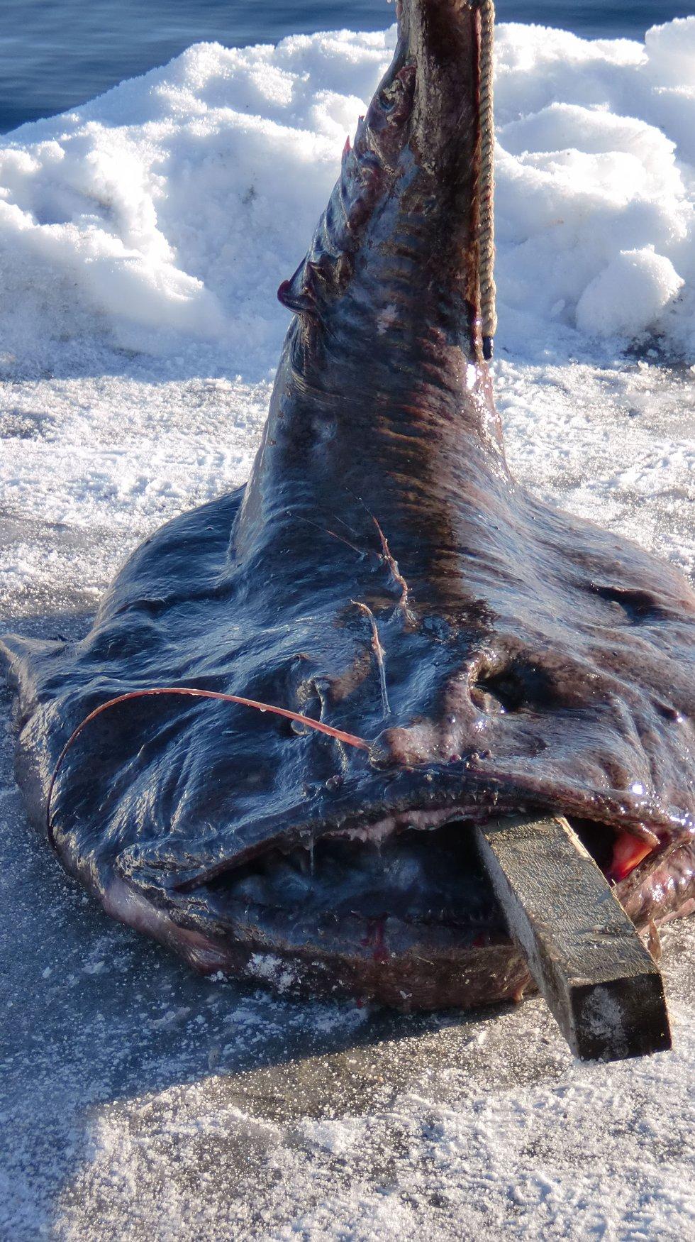 Beistet fra Hjelmåsvågen veide totale 99,4 kilo.