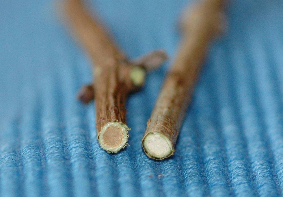 Gjennomskåret kvist av rødhyll (brun marg) til venstre og svarthyll (hvit marg) til høyre.